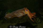 giant cuttlefish, Sepia apama, Victoria, Australia