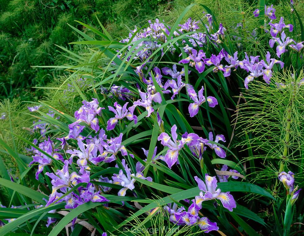 Douglas Iris and HorsetailGrowing on Steep Hillside,Redwood National Park, California
