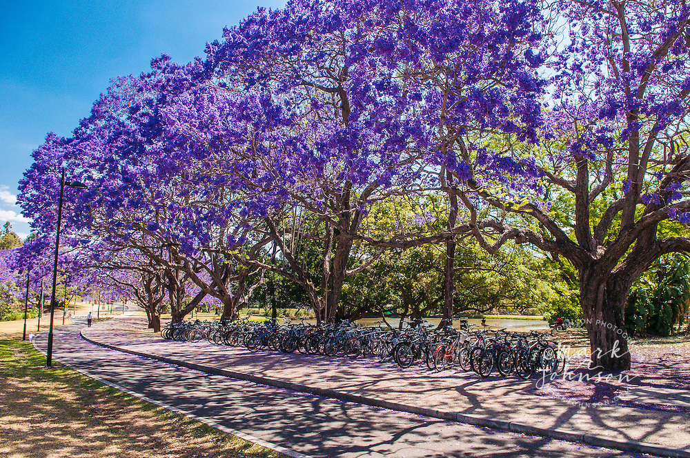 Flowering jacaranda trees, University of Queensland, Brisbane, Australia