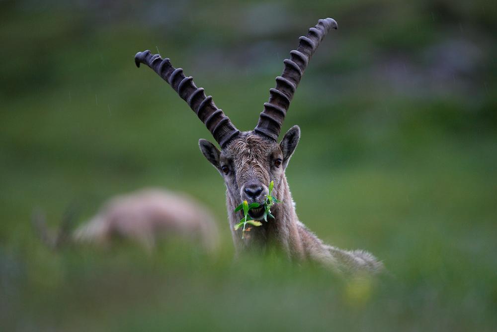 Alpine Ibex (Capra Ibex) in the dark, Hohe Tauern National Park, Carinthia, Austria
