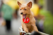 """22 JUNE 2011 - BANGKOK, THAILAND: A Thai dog with a vote """"no"""" button on its neck at a PAD rally in Bangkok on Wednesday, June 22. The PAD (People's Alliance for Democracy) or Yellow Shirts, as they are popularly called, has called for a """"No"""" vote in Thailand's national election, scheduled for July 3. PAD leadership hopes the no vote will negate the vote of Yingluck Shinawatra, leader of the Pheua Thai party. Yingluck is the youngest sister of exiled former Prime Minister Thaksin Shinawatra, deposed by a military coup in 2006. Yingluck is currently leading in opinion polls, running well ahead of incumbent Prime Minister Abhisit Vejjajiva, head of the Democrat party, which in one form or another has ruled Thailand for most of the last 60 years.     Photo by Jack Kurtz"""
