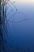 Bulrush (Schoenoplectus americanus) stalks are reflected onto the calm blue water of McManamon Lake at dawn in the Columbia National Wildlife Refuge near Othello, Washington.