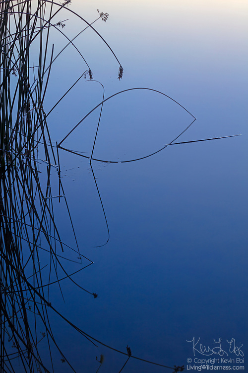 Bulrush (Schoenoplectus americanus) stalks are reflected onto the calm blue water of McMannaman Lake at dawn in the Columbia National Wildlife Refuge near Othello, Washington.