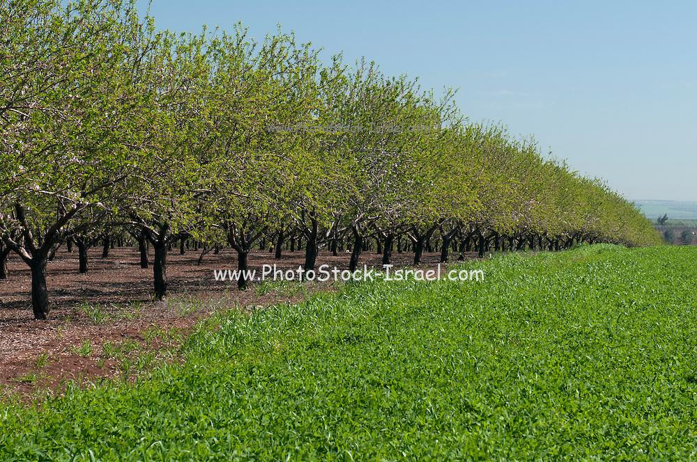 Israel, Jezreel Valley,Plantation