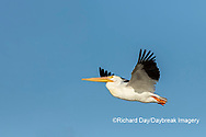 00671-01103 American White Pelican (Pelecanus erythrorhynchos) in flight Clinton Co.  IL