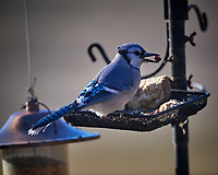 Blue Jay. Image taken with a Nikon D5 camera and 600 mm f/4 VR lens (ISO 360, 600 mm, f/4, 1/1250 sec).