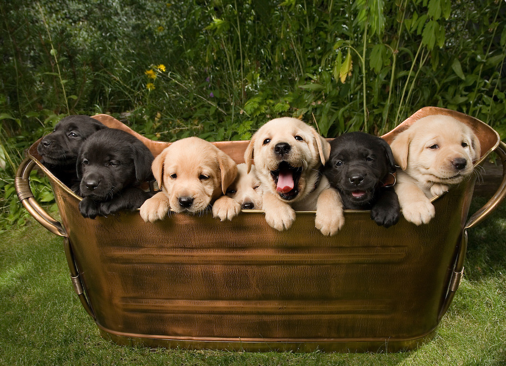 Mixed color litter of Labrador Retriever puppies in an old antique kindling bin in a garden setting PR