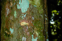 Indonesia, Sumatra. Bukit Lawang. Gunung Leuser National Park. The bark from this tree contains quinine and can be boiled in water to use as medicin against malaria.