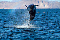 A pilot whale breaches the surface of Kino Bay, Mexico.