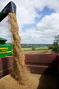 Combine harvester processing wheat in a field during harvest, UK food industry, Devon, UK