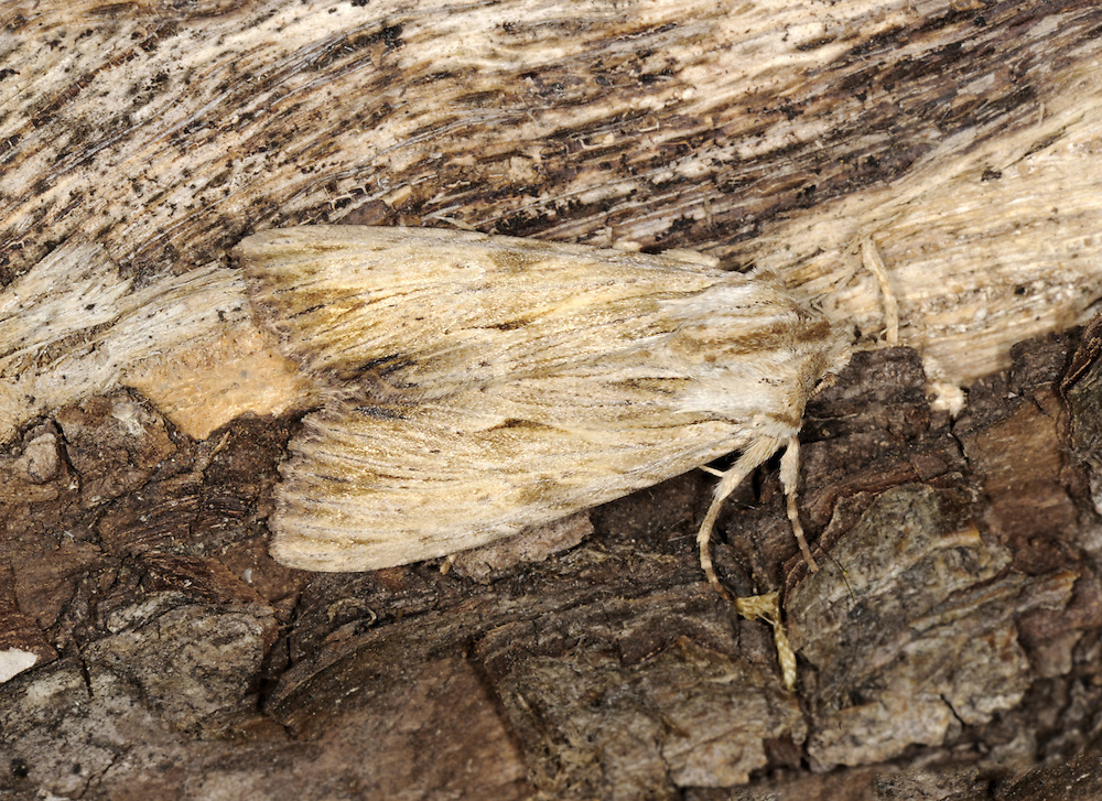 Light Arches - Apamea lithoxylaea