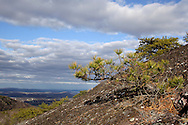 Mountainville, New York - Pitch pine (pinus rigida) grows out of cracks in the rocks along the eastern ridge of Schunnemunk Mountain on  Nov. 28, 2010.