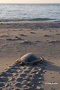Australian flatback sea turtle, Natator depressus, female returns to ocean after nesting, leaving tractor-like tracks in sand, Crab Island, off Cape York Peninsula, Torres Strait, Queensland, Australia