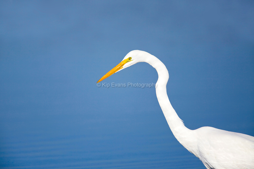 A great egret (Ardea alba) hunts for fish in Elkhorn Slough - Moss Landing, California.