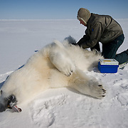 Dr. Steve Amstrup, USGS biologist  preparing to collect data from a small, female, polar bear. Beaufort Sea ice pack.