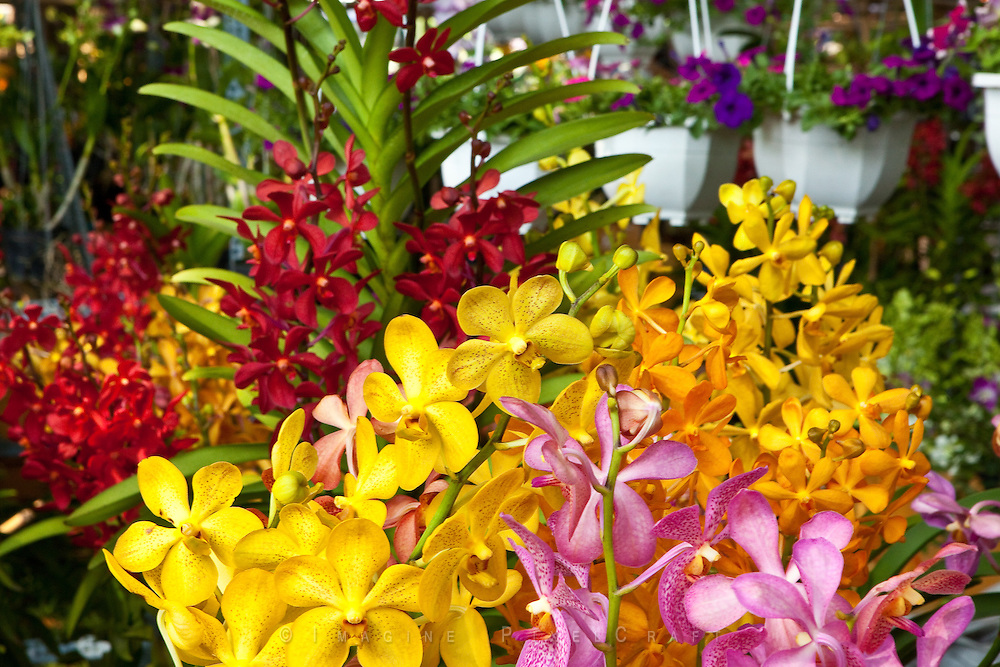 Closeup of flowers being set out for display and sale at the Ho Chi Minh City annual Flower Fair. A tradtional Tet festival.