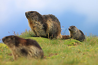 Alpine Marmot (Marmota marmota) family, adults and cub. Hohe Tauern National Park, Carinthia, Austria