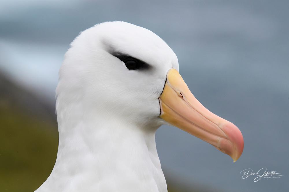 Black-browed albatross (Thalassarche melanophris), West Point Island, East Falkland, Falkland Islands