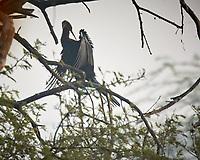 Oriental Darter. Bharatpur-- Keoladeo Ghana National Park, Rajasthan, India. Image taken with a Nikon 1 V3 camera and 70-300 mm VR lens.