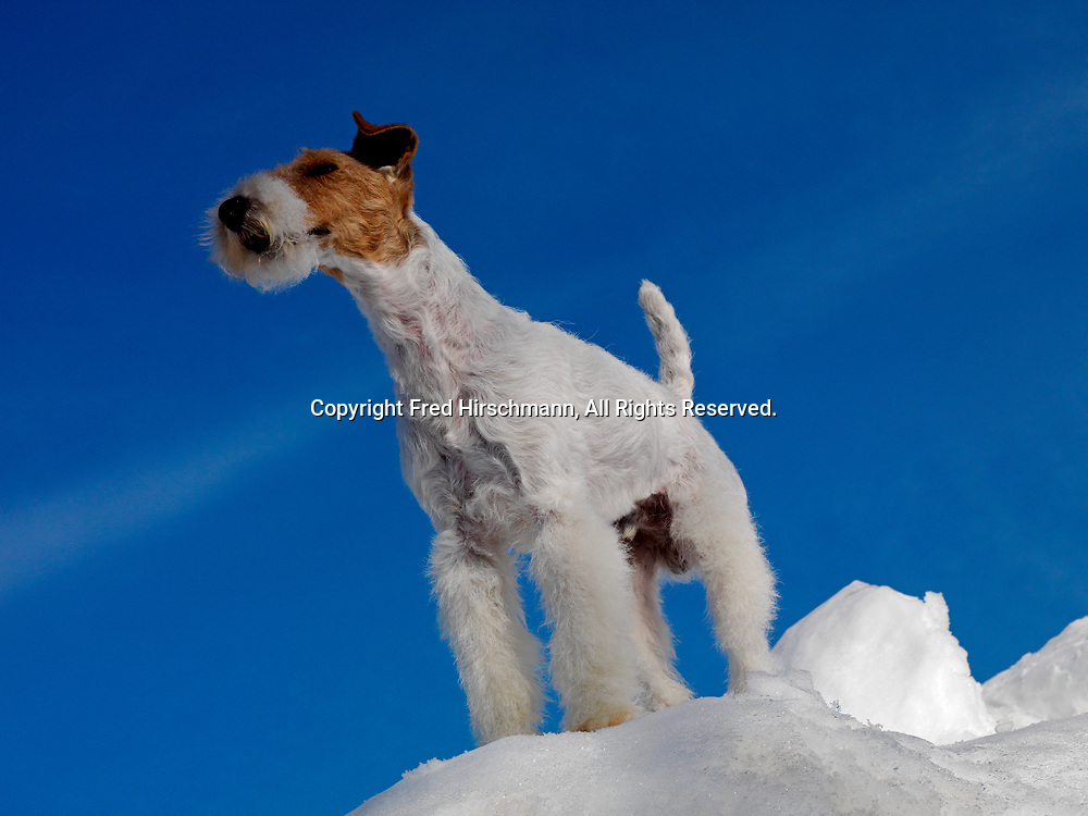 """Wire Fox Terrier, AKC, 7-year-old """"Chile"""" photographed in Anchorage, Alaska and owned by Daniel J. Mardones of Pahoa, Hawaii.  (PR)"""