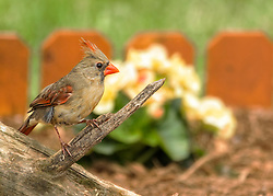 A Female Northern Cardinal Perched On An Old Log In My Flower Garden