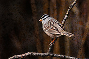 A White-crowned Sparrow on a branch in Jackson Hole, Wyoming. Artistic effects applied.
