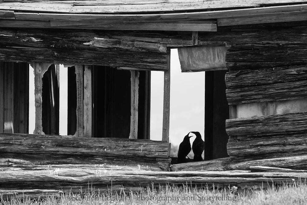 Ravens, Homestead, Waterton Front, Alberta