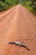 Spectacled Caiman (Caiman crocodilus) dead on Road<br /> Rain Forest<br /> Iwokrama Reserve<br /> GUYANA<br /> South America<br /> RANGE: Central & South America