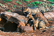 Three small cubs of black-backed jackal (Canis mesomelas) outside their den in Zimanga Private Reserve, South Africa.