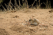 A deer mouse (Peromyscus maniculatus) feeds on grass seed. John Day Fossil Beds National Monument, Painted Hills Unit.