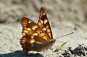 Freyer's Purple Emperor Butterfly, Apatura metis, Danube Delta, Tulcea, Romania Feeding on moisture in mud at riverbank