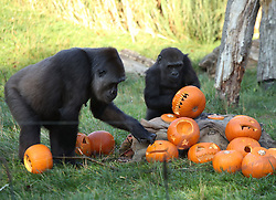 Gorillas with pumpkins during a photo call ahead of Halloween, at London Zoo.