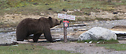 A Grizzly Bear checks out a sign before Traveling on.