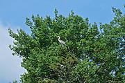 Great blue heron (Ardea herodias) in tree<br />Ear Falls<br />Ontario<br />Canada