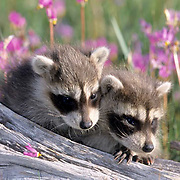 Raccoon, (Procyon lotor) Young in spring in field of Shooting Star flowers. Montana.  Captive Animal.