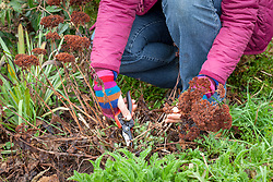 Cutting back sedums in spring. Removing old flowered stems