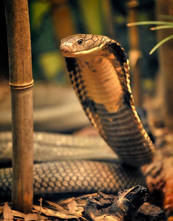 Ophiophagus hannah - King Cobra