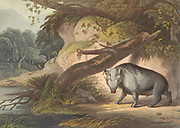 The African Hog hand colored plate from the collection of  ' African scenery and animals ' by Daniell, Samuel, 1775-1811 and Daniell, William, 1769-1837 published 1804