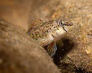 Holiday Darter<br /> <br /> Bryce Gibson/Engbretson Underwater Photography