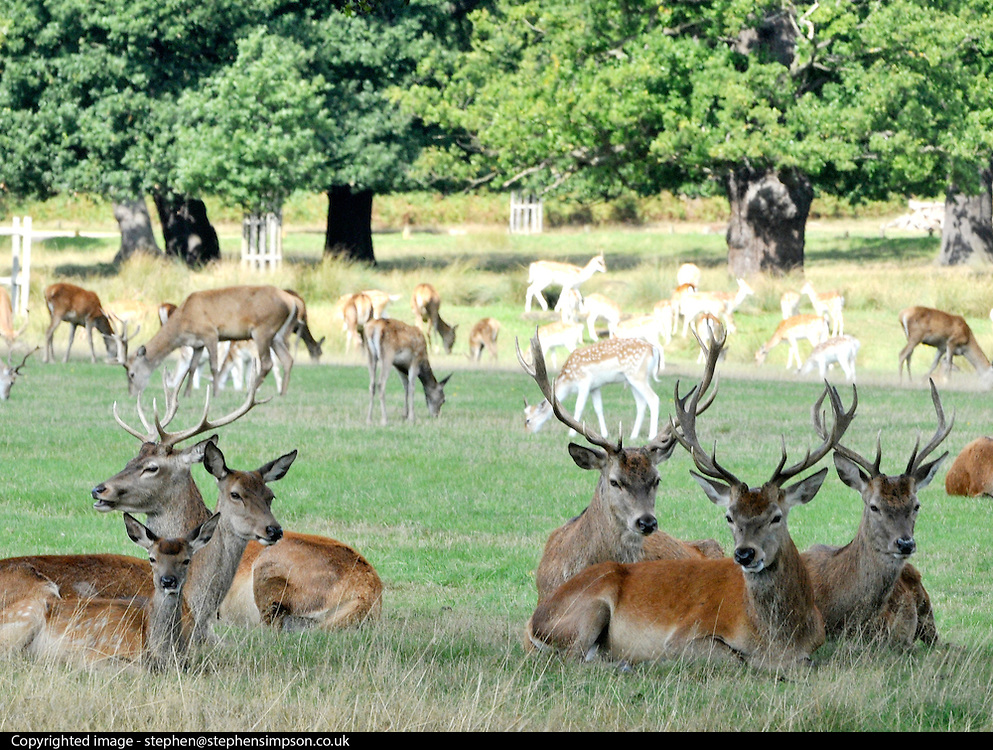 RICHMOND SURREY. Young male deer keep an eye on the females and the young whilst they graze in Richmond Park, Surrey. There is only three weeks left before the males will begin clashing antlers during the rutting season, when they will compete with each other for the attention of females. 09 September 2010. STEPHEN SIMPSON.