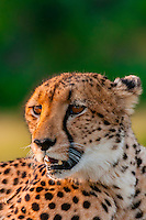 A cheetah, near Kwara Camp, Okavango Delta, Botswana.