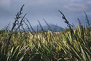 New Zealand flax (Phormium tenax), The Southern Circuit, Stewart Island / Rakiura, New Zealand Ⓒ Davis Ulands | davisulands.com