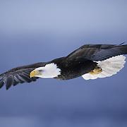 Bald Eagle (Haliaeetus leucocephalus) adult in flight. Alaska