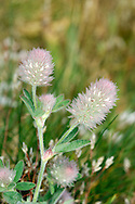 HARE'S-FOOT CLOVER Trifolium arvense (Fabaceae) Height to 25cm. Charming and distinctive annual that is covered in soft hairs. Found in dry, grassy areas, typically on sandy or gravelly soils. FLOWERS are pale pink and shorter than the filament-like calyx teeth; borne in dense egg-shaped to cylindrical heads, 2-3cm long (Jun-Sep). FRUITS are concealed by the calyx. LEAVES are trifoliate and comprise narrow leaflets that are barely toothed. STATUS-Widespread and locally common in England and Wales; absent from N Scotland and mainly coastal in Ireland.