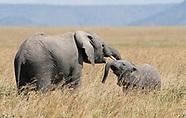 African Elephant, Loxodonta africana