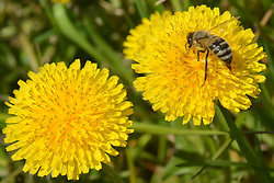 THEMENBILD - Als Bienentrachtpflanze oder Bienenweide bezeichnet man Pflanzen, die besonders reichhaltig Nektar und Pollen erzeugen und deswegen häufig von Honigbienen angeflogen werden. Aufgenommen am 17. April 2015 in Bjelovar, Kroatien. // Honeybees usually collect nectar, pollen, or both from the following species of plants, which are called honey plants, for making honey. Photo taken on 2015 April 17th in Bjelovar, Croatia. EXPA Pictures © 2015, PhotoCredit: EXPA/ Pixsell/ Damir Spehar<br /> <br /> *****ATTENTION - for AUT, SLO, SUI, SWE, ITA, FRA only*****