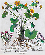 Hand painted copperplate print of three flowering plants from Hortus Eystettensis, a codex produced by Basilius Besler in 1613 of the garden of the bishop of Eichstatt in Bavaria.