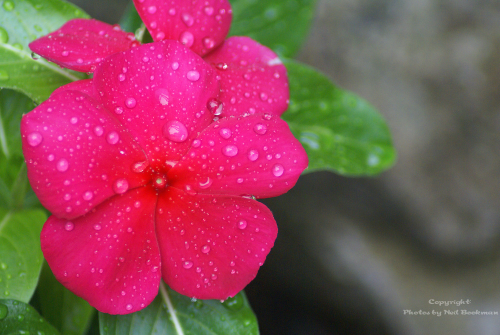 Upright Vinca with morning dew.