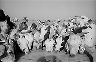 NIGER. Fariberi. 27/01/1987: Cattle drinking from a through installed by the FED (European Fund for Development).