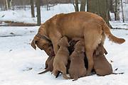 Chesapeake Bay Retriver puppies nursing.